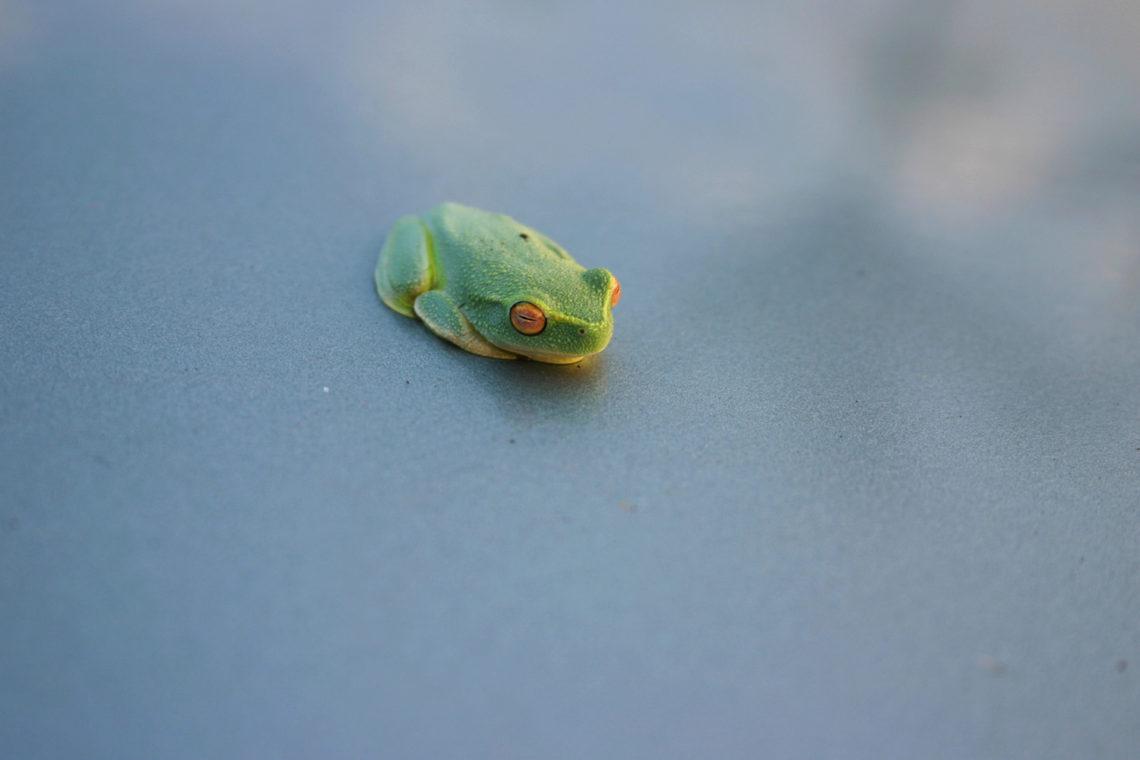 Froschkönig im Morgentau